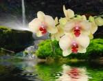 Orchideeauf Stein mit Wassertropfen